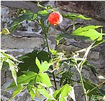 Abutilon pictum Thompsonii