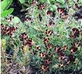 Anthyllis vulneraria dark red form