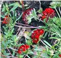 Anthyllis vulneraria scarlet form