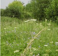 Hogweed meadow