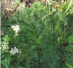 Selinum montanum