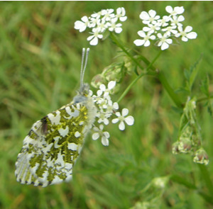 Orange Tip butterfly female