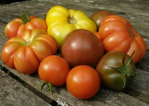 Tomatoes Gardener's Delight, Costoluto Fiorentino, Big Rainbow (yellow), Gypsy (greeney)