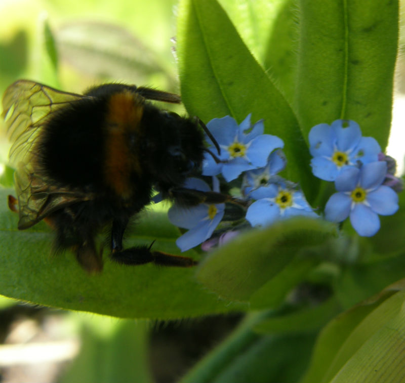 bee-on-forget-me-not