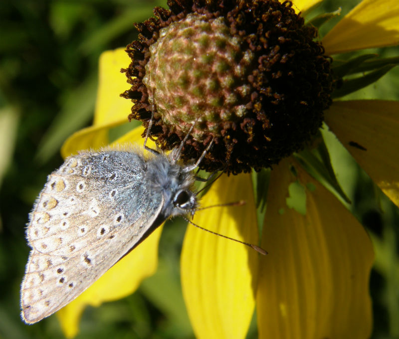 Common Blue on Rudbeckia laciniata