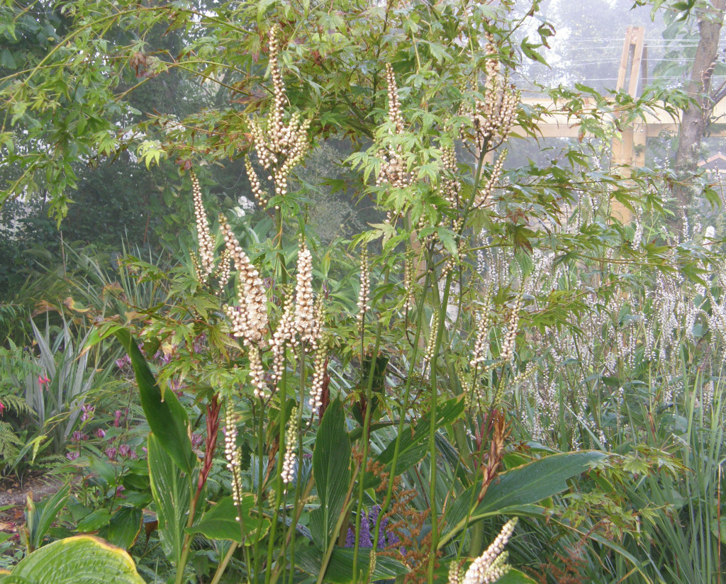 Actaea Japonica ex Crug Farm Plants