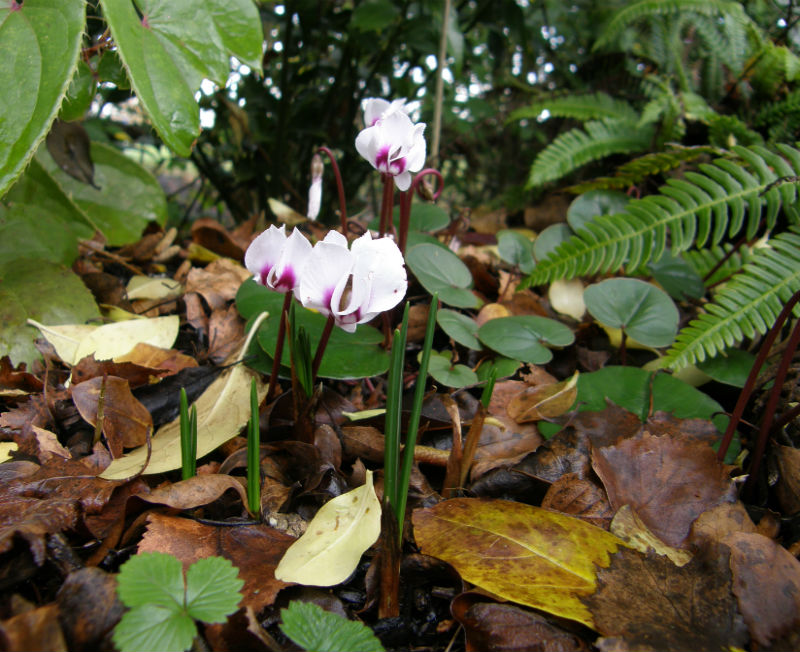 Cyclamen coum with emerging foliage of Crocus speciosus (autumn flowering)