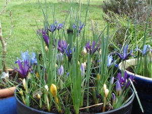 Iris reticulata and crocus