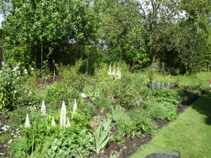 Early June lupins and foxgloves