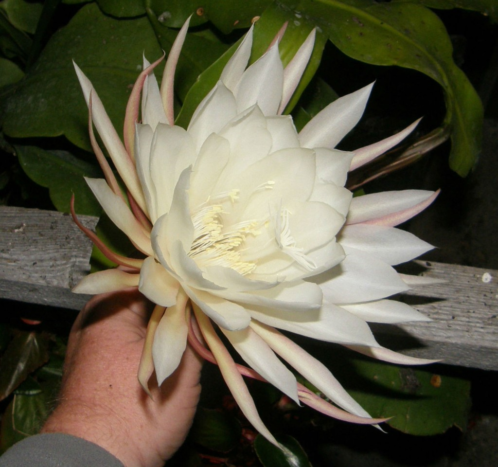 Queen of the Night in Flower