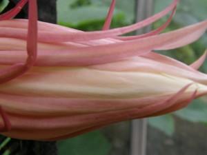 Epiphyllum oxypetalum in bud