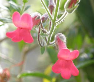 Galvezia speciosa