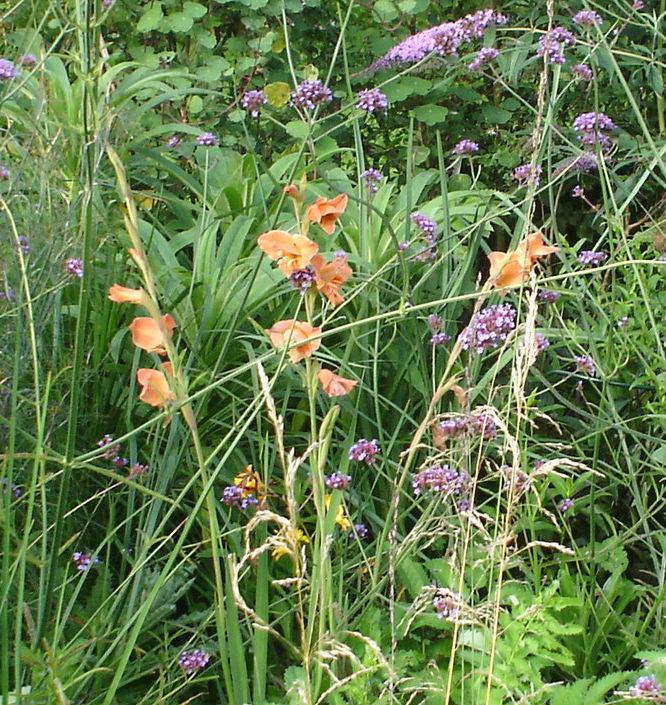 Gladdy Hastings with wayward Verbena bonariensis