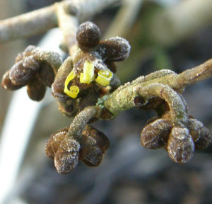 The first tentative ribbons unfurl from Hamamelis Westerstede