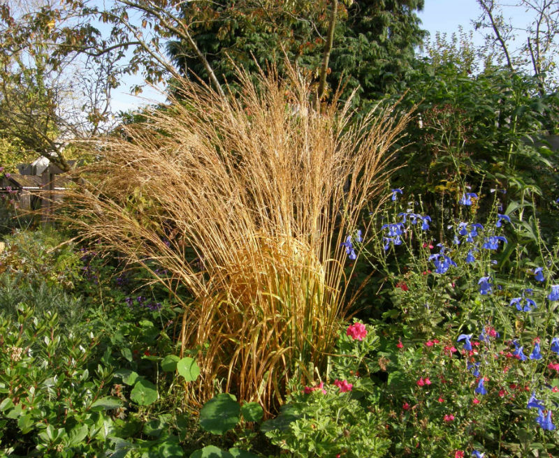 Molinia caerulea autumn colours