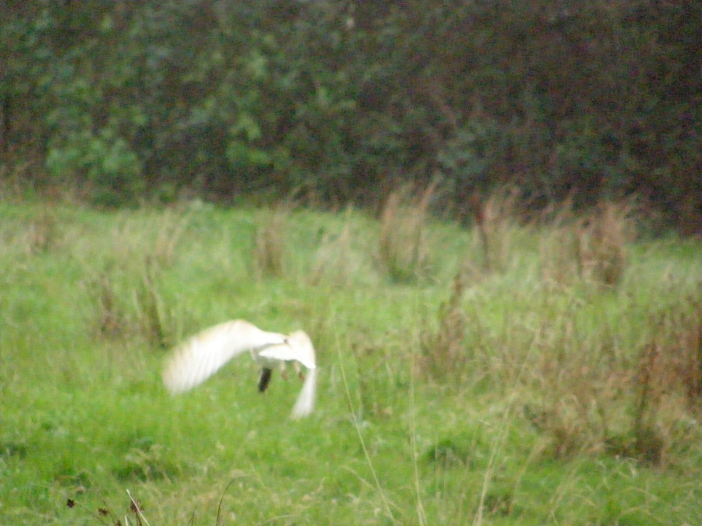Barn Owl in flight with prey