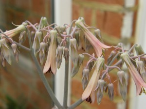 Kalanchoe in flower