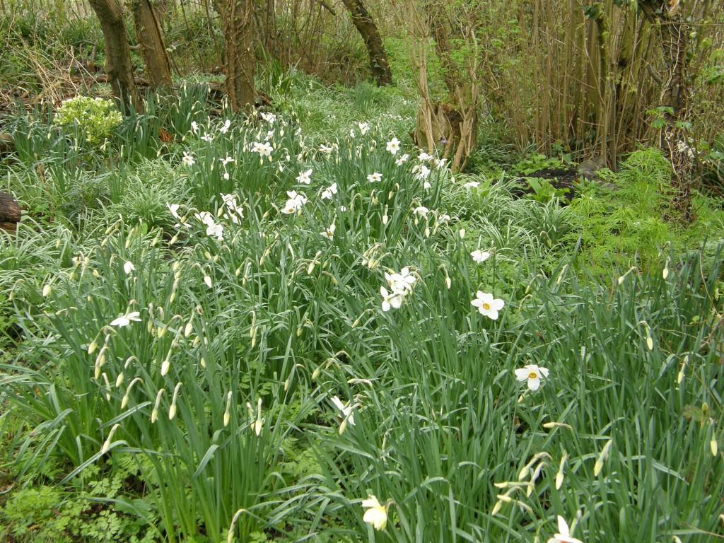 Narcissus poeticus naturalised planting