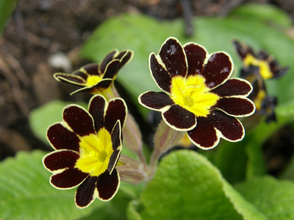 Gold Laced Primula