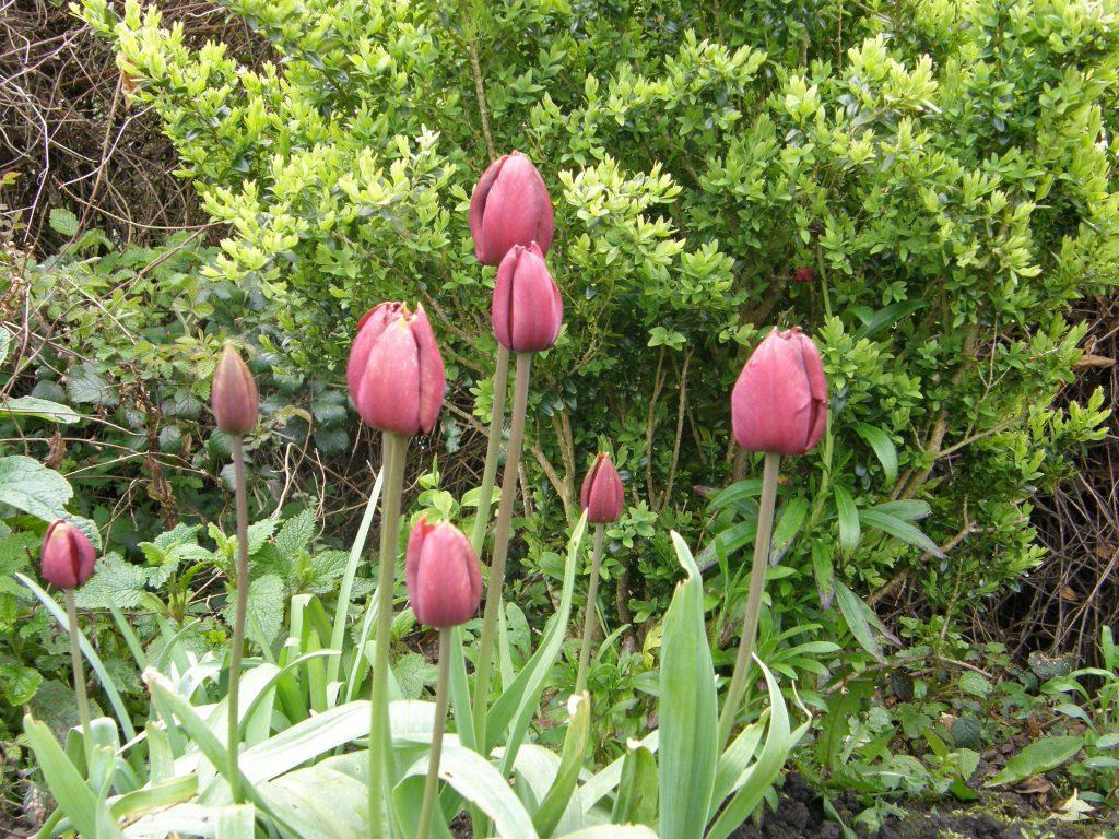 Tulip Dom Pedro
