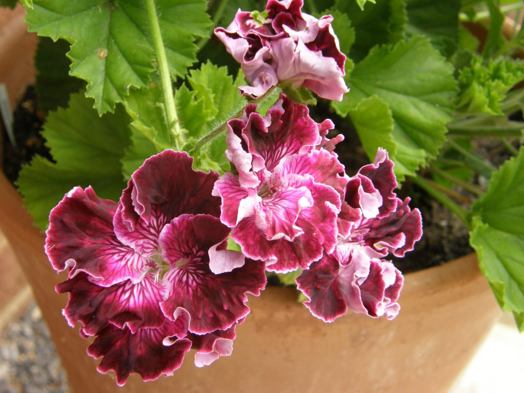 Pelargonium Marchioness of Bute