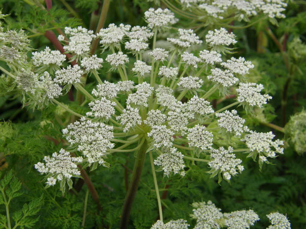 Selinum wallichianum flowering in late August