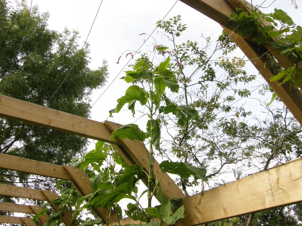 Persicaria orientalis one season's growth.