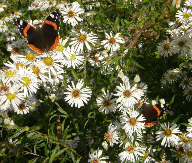 Red Admiral butterflies on Aster White Climax