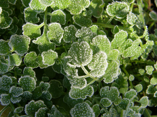 Bittercress in frost