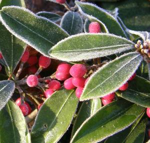 Skimmia japonica reevesiana