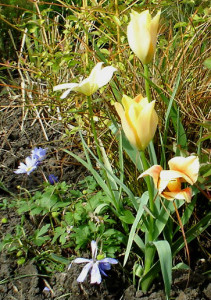 Tulip batalinii Apricot Jewel nearly over