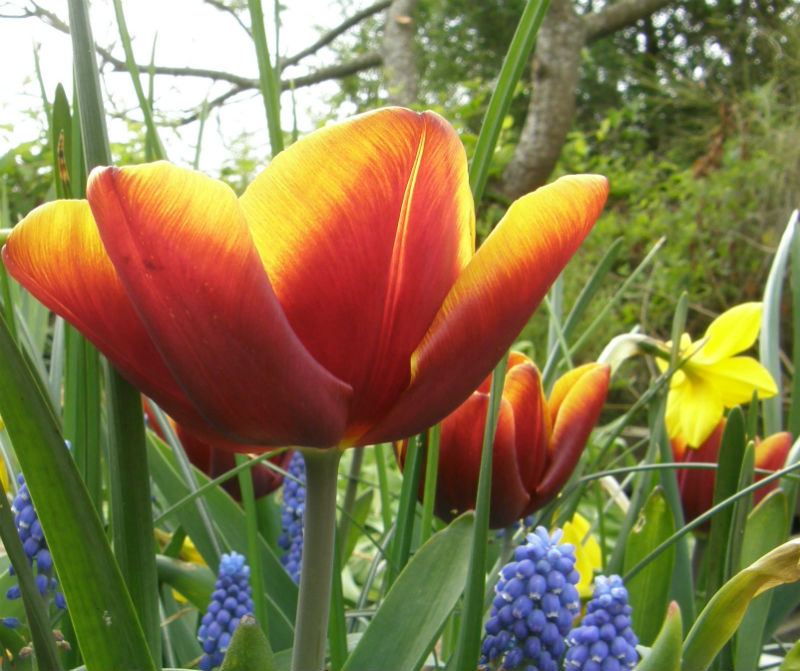 Tulip Abu Hassan