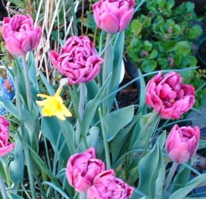 Tulip David Tenniers