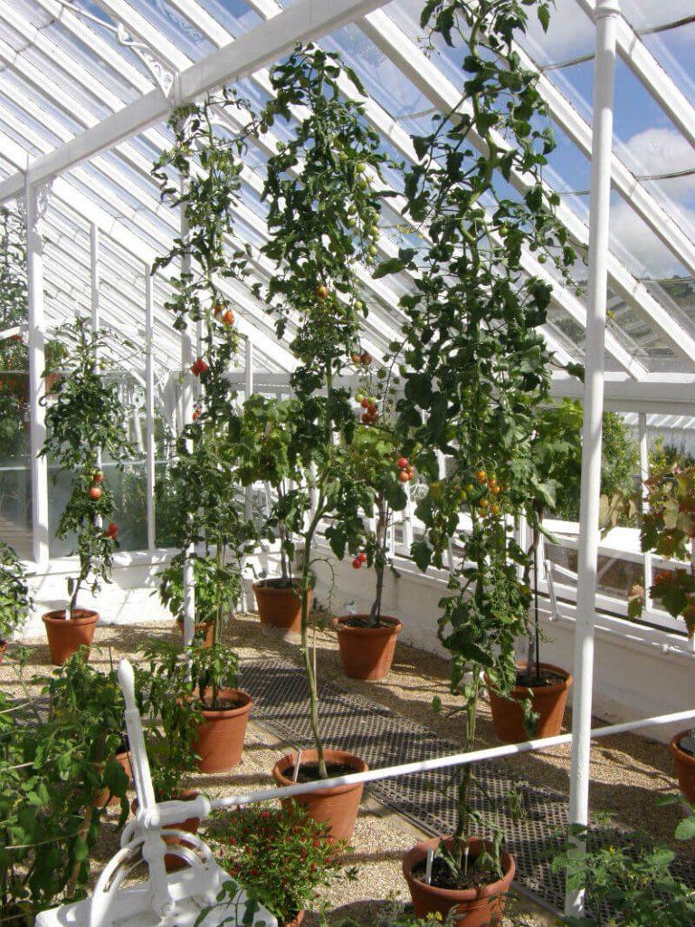 West Dean Gardens Cordon Tomatoes