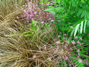 Allium schubertii with Carex buchananii