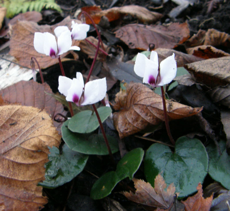 Cyclamen coum flowering in December