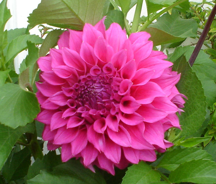 Dahlia not Black Monarch