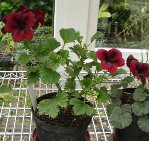 Pelargonium Holt Beauty