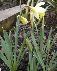 Small daffodil Topolino