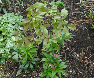 Peony rockii and self seeded hellebores